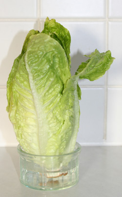 Salat lagern
