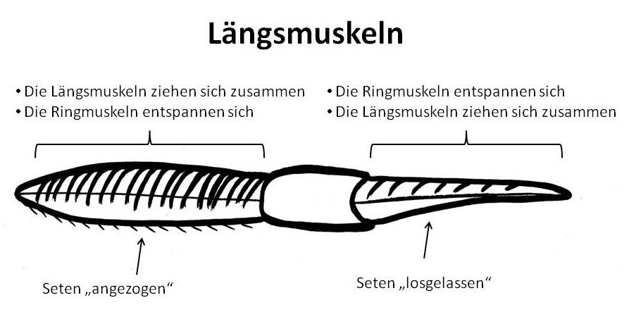 Längsmuskeln Regenwurm