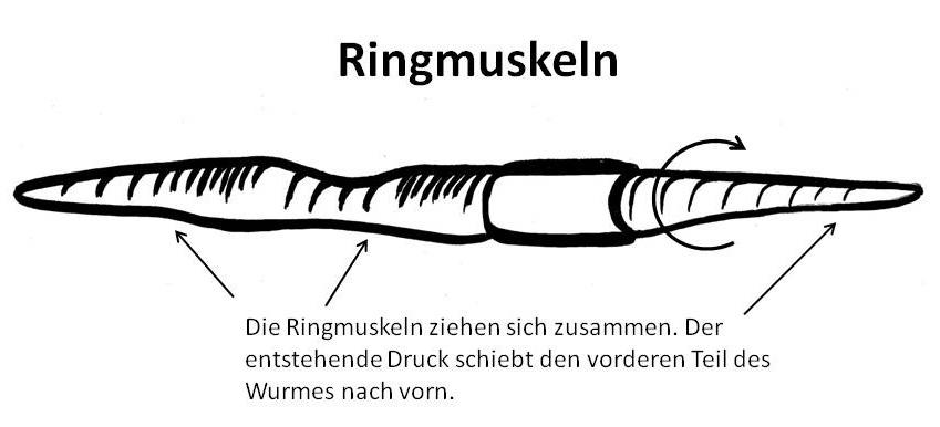 Regenwurm Ringmuskeln