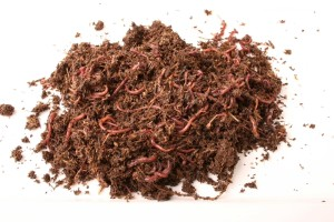 Kompostwürmer Eisenia fetida