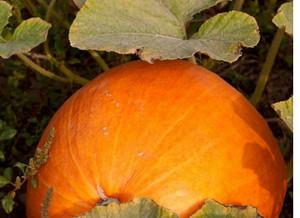 Besser Kompostieren mit schönen Hokkaido Kürbissen