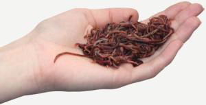 Eisenia Würmer Hand