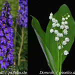 50 Giftpflanzen im Garten (mit Schautafel)