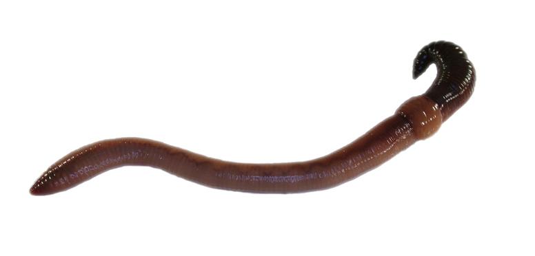 Tauwurm