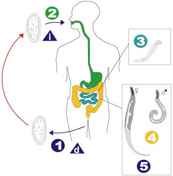 Madenwurm Lebenszyklus
