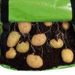 Kartoffeln mit Pflanztaschen anbauen