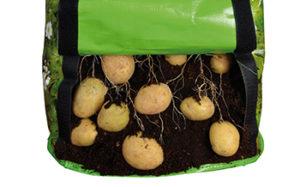 Kartoffelsatz Entnahme