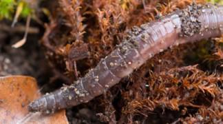 Biologie und Ökologie von Regenwürmern