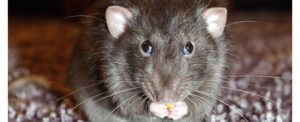 Ratte Knabbert